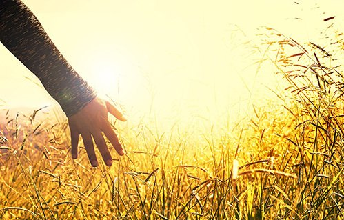 Closeup of hand touching wheat in field