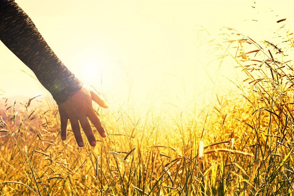 Closeup of person's arm touching wheat in a sunny field
